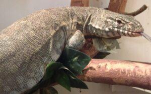 3 ft lizard in Tucson